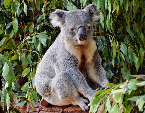Staande foto Koala Cute koala looking on a tree branch eucalyptus