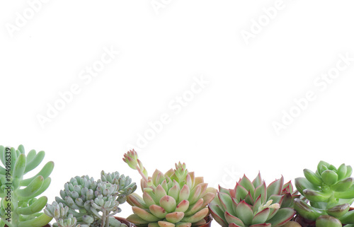 Horizontal Frame of Various Types of Flowering Echeveria Succulent ...