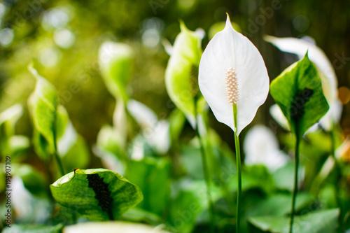 Fotografie, Obraz  Calla flower in a field close up