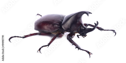 Fotografia Stag beetle isolated on white background
