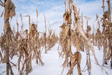 Corn Field In The Winter.