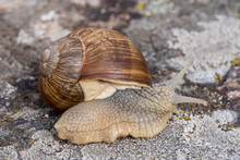 Closeup Of A Large White Snail Crawling On A Rock