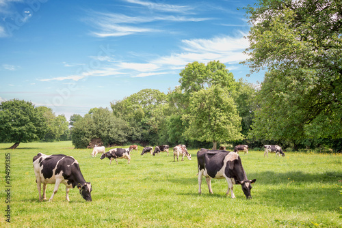 Foto op Plexiglas Koe Norman cows grazing on grassy green field with trees on a bright sunny day in Normandy, France. Summer countryside landscape and pasture for cows