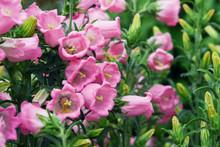 Pink Flowers Bell Dot. The Var...