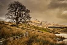 A Lone Tree By Llyn Y Dywarche...