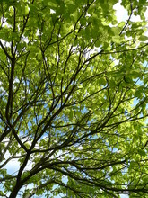 Tree Canopy In Summer