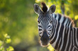 A horizontal, cropped, colour image of a zebra, Equus burchellii, facing the camera in back light in the Greater Kruger Transfrontier Park, South Africa.