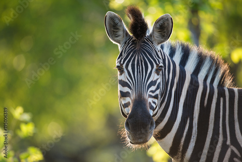 A horizontal, cropped, colour image of a zebra, Equus burchellii, facing the camera in back light in the Greater Kruger Transfrontier Park, South Africa. - 195006389