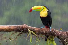 Toucan Perched On Branch In A Rainy Day. Costa Rica Forest.