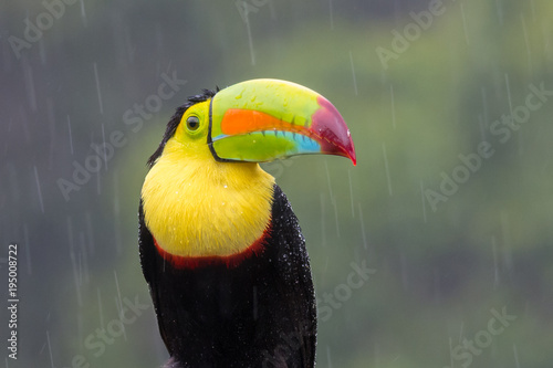 Tuinposter Toekan Toucan perched on branch in a rainy day. Costa Rica forest.