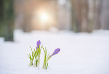 The First Spring Flowers In Th...