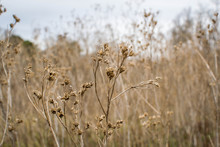 Tall Dry Weeds