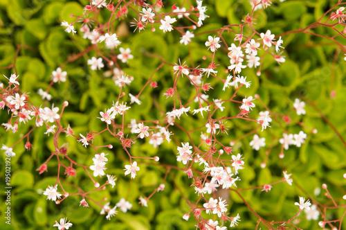 Valokuva Saxifraga umbrosa london pride or st patrick's cabbage green plant with white re