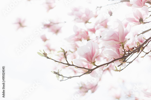 La pose en embrasure Magnolia Beautiful spring background. Close up of blossoming magnolia flowers