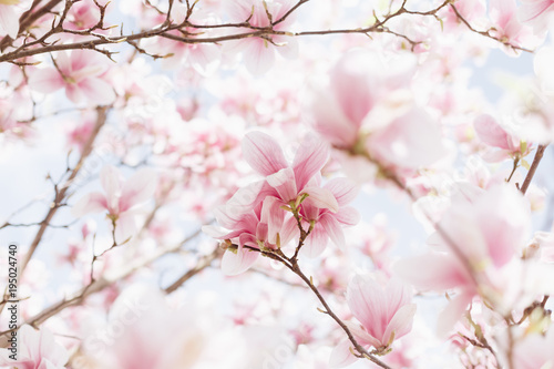 Foto op Plexiglas Magnolia Beautiful spring nature scene with pink blossoming. Magnolia blooming