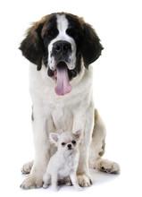 Young Saint Bernard And Chihuahua