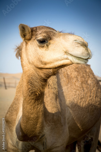 Camel in the desert.