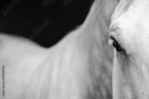 Valokuvatapetti Lipizzaner Horse