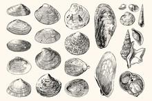 22 Vintage Sea Shell Nautical Illustration Collection