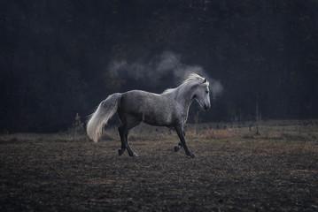Weißes Connemara Pferd auf Koppel Weide