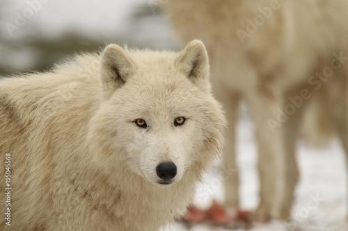 Papiers peints Loup Loups blancs en hiver