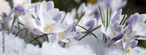 Stickers pour porte Crocus crocus flowers