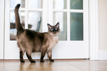 A Purebred Siamese Cat With Se...