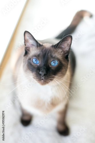 Portrait of a purebred Siamese cat with seal point markings
