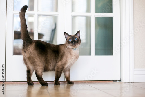 Pinturas sobre lienzo  A purebred Siamese cat with seal point markings and blue eyes