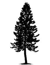 Tree Silhouette Isolated On Wh...