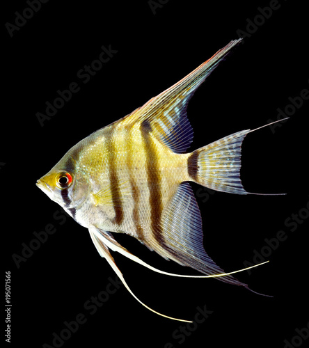 Photo Zebra angelfish isolated on black