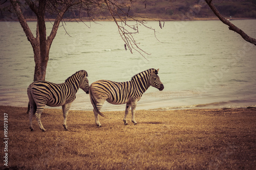 Staande foto Afrika Africa - Zebras