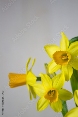 Deurstickers Narcis Yellow narcissus or daffodil flowers on light background. Spring Easter