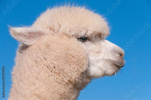 Poster Lama Alpaga Blanc Photo 16 (Portrait)