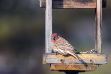 Horizontal Image Of A Purple Finch Eating Seeds On Wood Feeder With Soft Bokeh Background