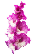 Branch Of A Gladiolus Pink Flower Isolated On White Background. Flat Lay, Top View