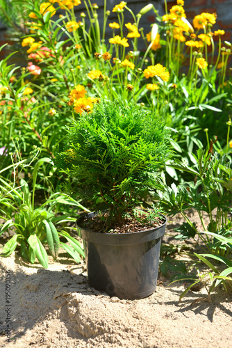 Thuja Occidentalis Danica In Garden Stands In A Pot Against The Background  Of Other Plants And