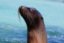 Galapagos Sea Lion Headshot / ...