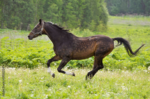Bay horse run gallop on green meadow in summer day Poster