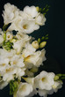 White Freesia Bouquet of Flowers on Black Background. close up.