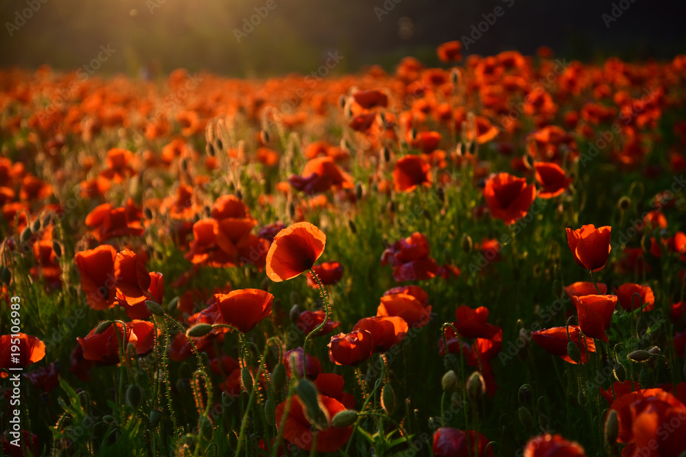 poppy flower Remembrance Day