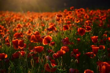 poppy flower Remembrance Day