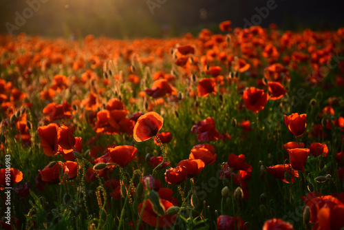 Foto auf Leinwand Mohn poppy flower Remembrance Day