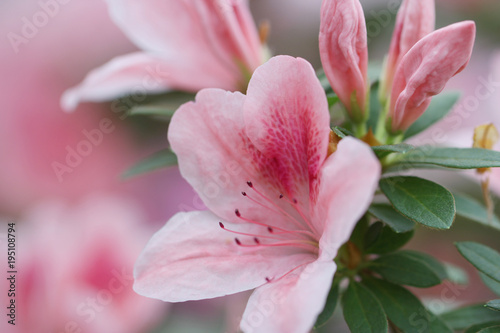 Photo sur Aluminium Azalea blur floral background lush fresh azalea flowers