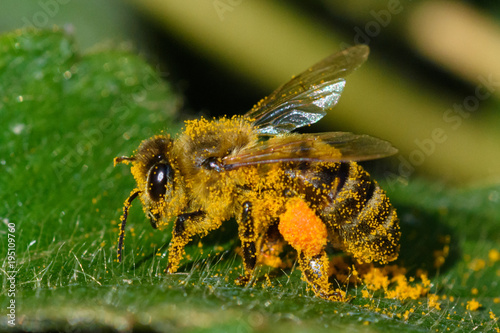 Photo Honey Bee pollinating flower