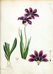 Panel Szklany Botaniczne Illustration of flower.