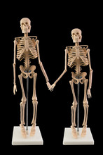 White Skeleton Model Isolated On Dark Background, Couple Skeleton Of Love Touch The Hand.