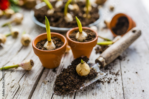 Bulbs of spring flowers and blooming flowers for planting.