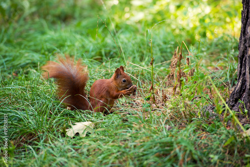 Printed kitchen splashbacks Squirrel A red squirrel stands near a tree with a nut.