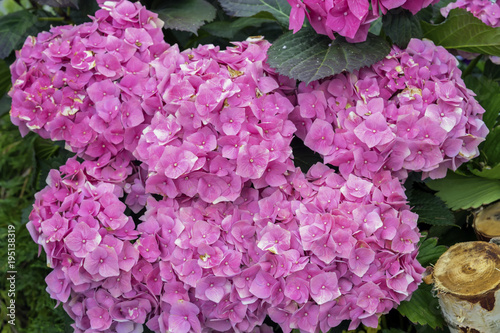 Staande foto Hydrangea Pink hydrangeas flowers close-up, hydrangea macrophylla, hortensia, popular ornamental plants, grown for their large flowerheads in flowerheads